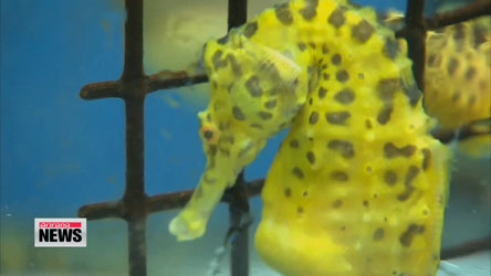 Seahorse farming could soon be big business in Korea