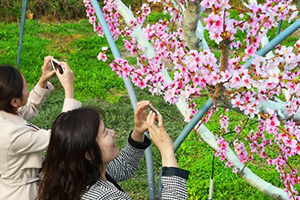 Peach blossoms in S. Korea